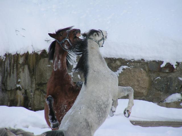 Cavalls a la pista
